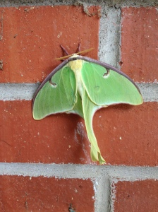 Lunar Moth.  He's my friend.  I decided.