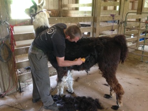 Joker being shorn.  That boy stands like a champ every  time.