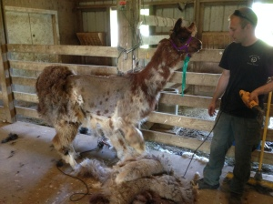 Merida, a rescue with less than stellar behavior, but she does stand fairly well for shearing.