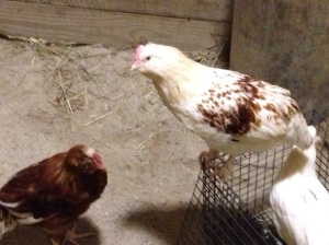 Salmon Faverolle named Renegade for her tendency to sneak out of the chicken stall.