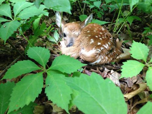 A newborn fawn that I glimpsed hiding in the woodlands.