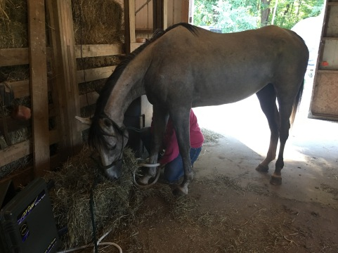 Getting a Magnawave treatment and eating hay; this became a favorite routine.